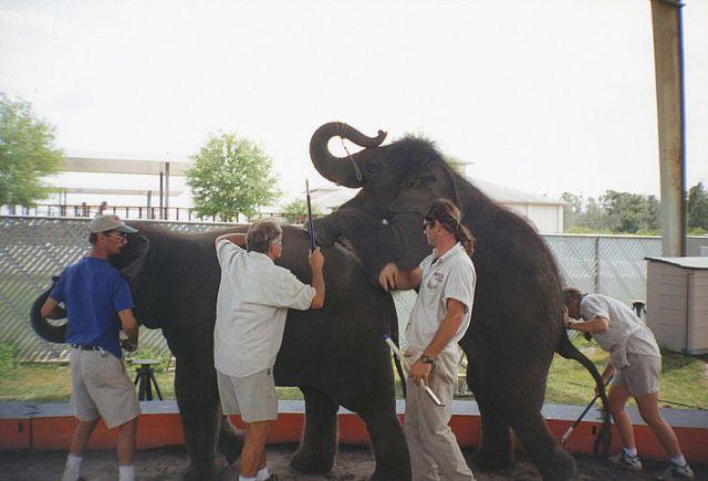 How Baby Elephants Learn Tricks (24 pics)