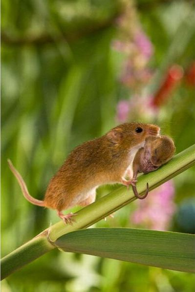 Secret Life of Harvest Mice (17 pics)