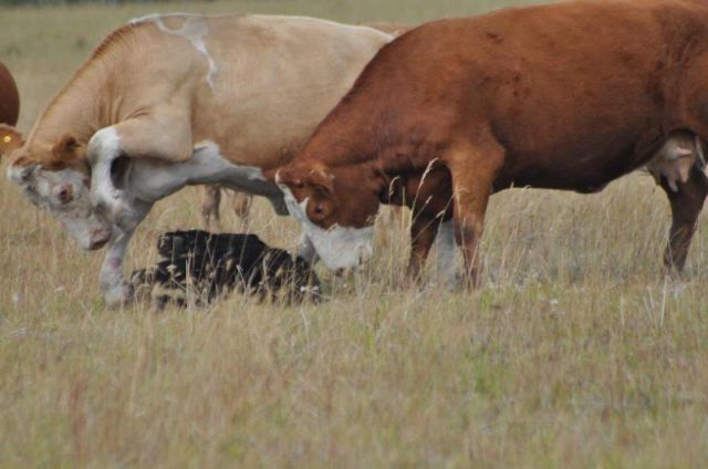 Bear vs. Cows (13 pics)