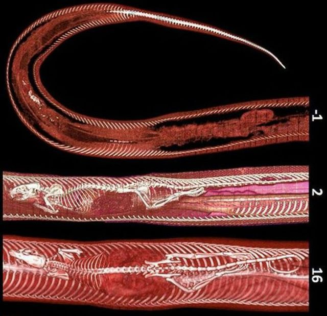 The Snake and the Rat: Digestion Process (4 pics)
