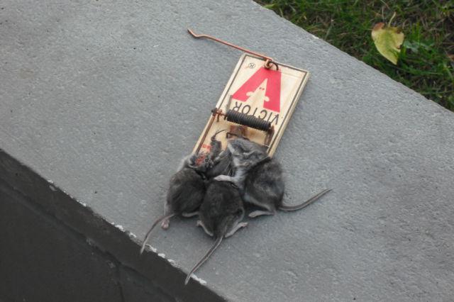 3 dumb mice (1 pic)