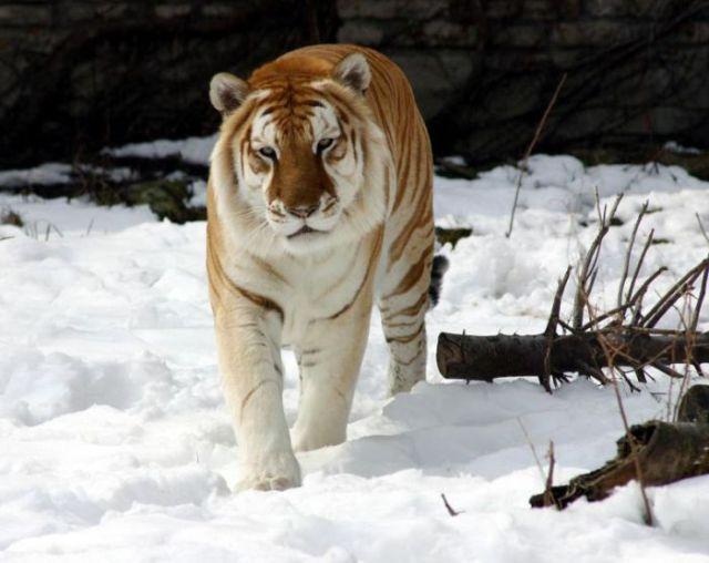 Beautiful Golden Tabby Tiger (8 pics)