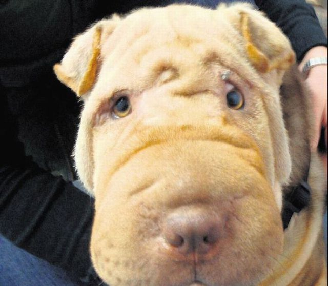 Plastic Surgery for the Dog (2 pics)