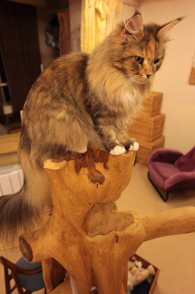 Cat Cafe in Japan (39 pics + 1 video)
