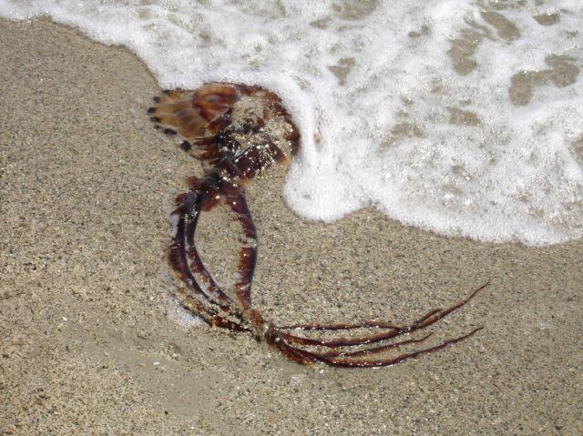 A very big Jellyfish!!! (12 pics)