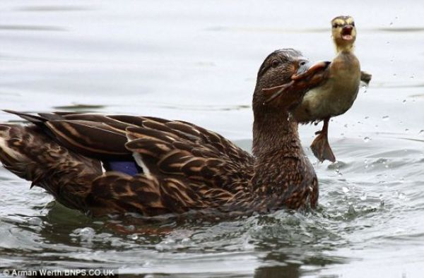 A Duck in Need is a Duck in Deed