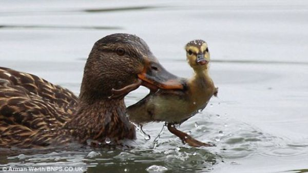 A Duck in Need is a Duck in Deed