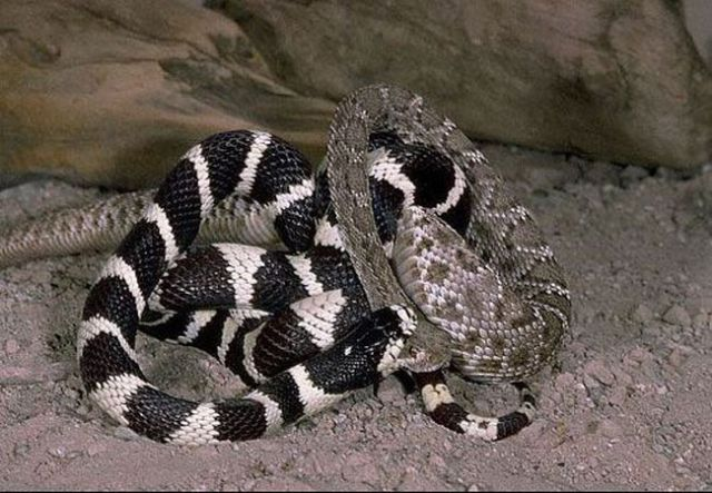 California Kingsnake in a Fight with a Rattlesnake