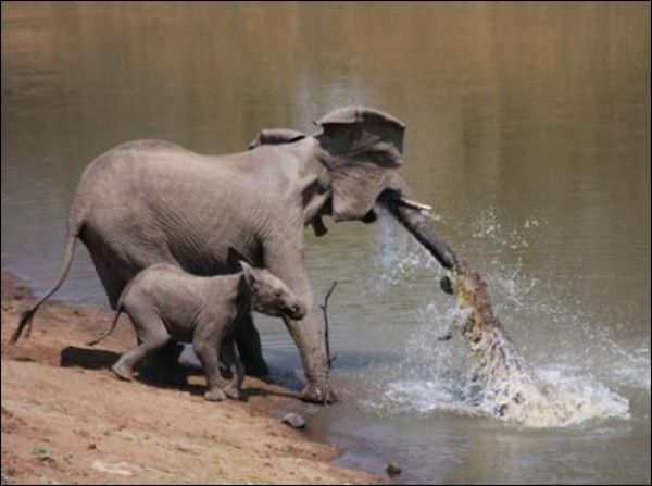 Elephant vs Crocodile