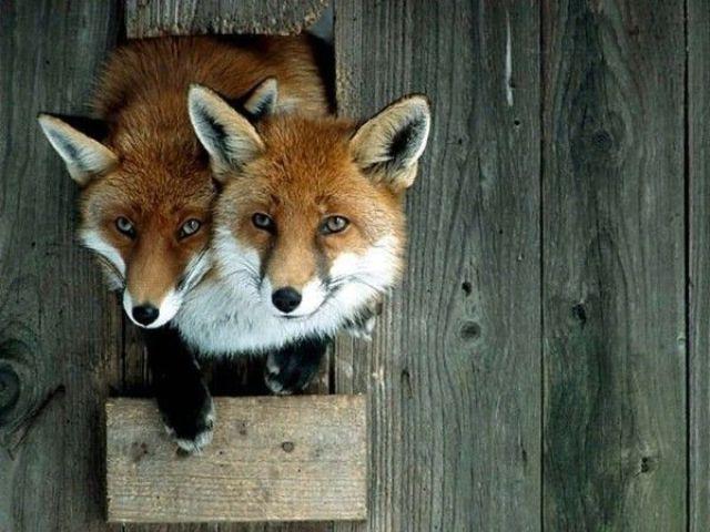 What a Fox!!