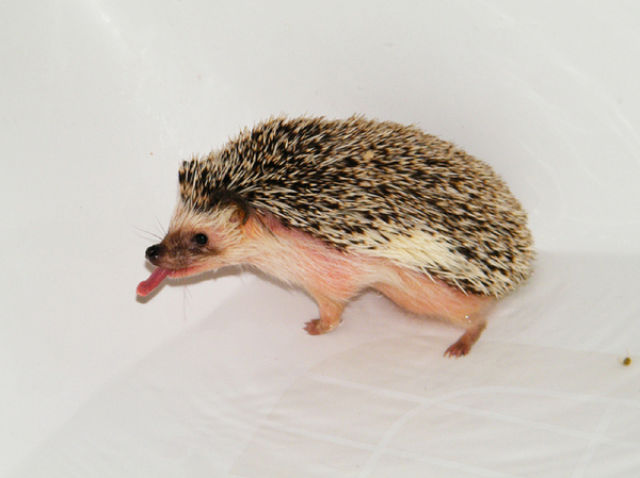 Bath time for Hedgehogs
