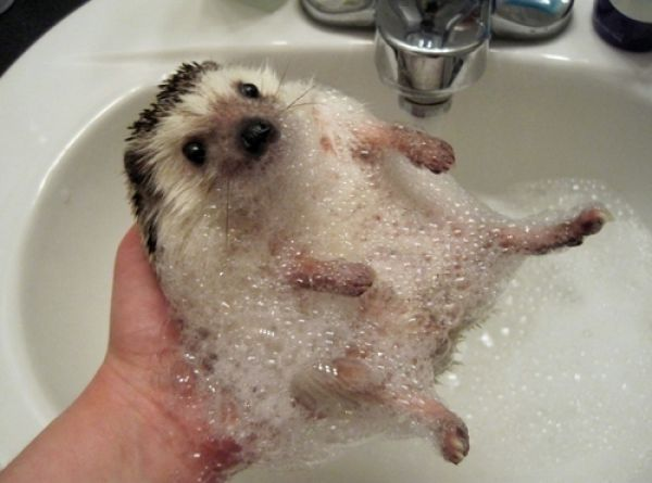 Bath time for Hedgehogs