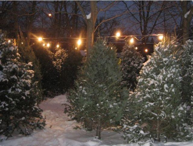 Uncanny Factoid: Christmas Tree Trimming
