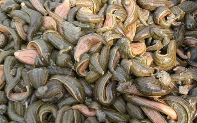 Monstrous Leeches