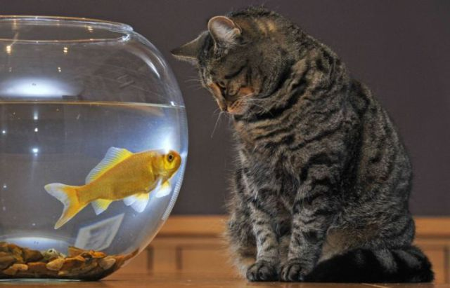 The Goldfish and the Cat
