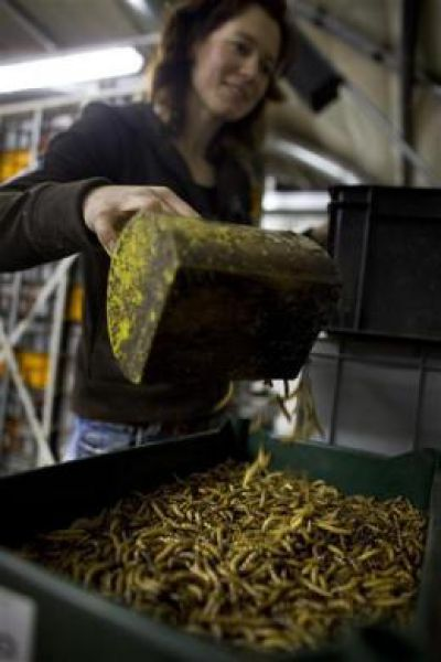Mealworms Not Just For Fishing Anymore