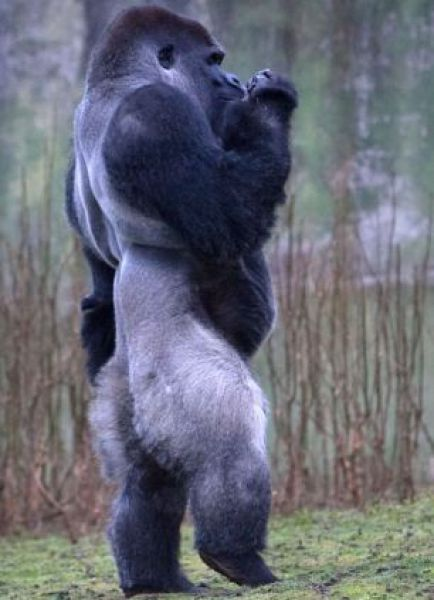 A Unique Gorilla