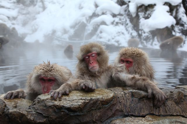 Bathing Monkeys