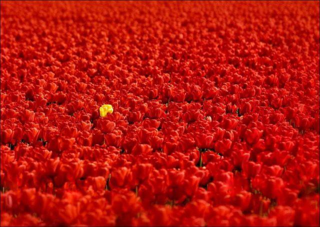 Beautiful Tulip Fields