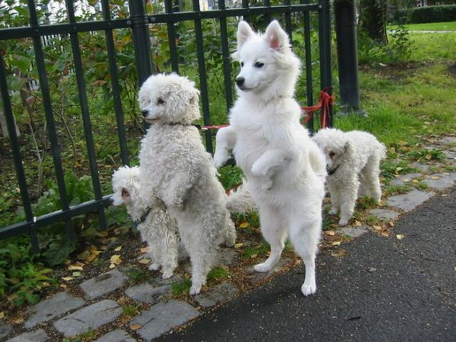 Upright Doggies