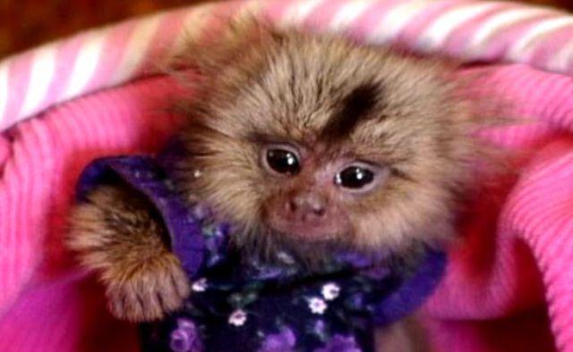Uncanny Factoid: Monkey Shines