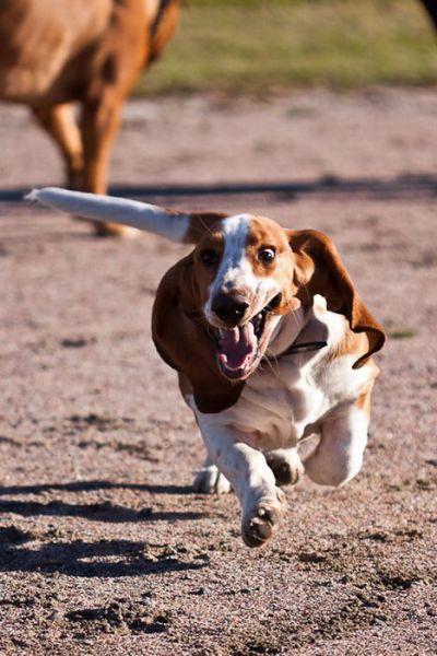Hilarious Running Basset Hounds