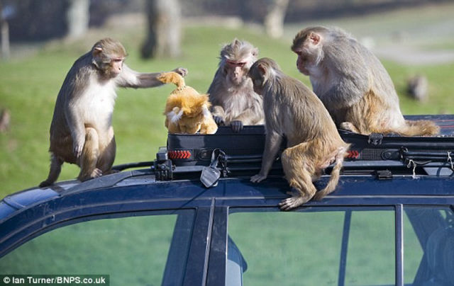 Monkeys Ruin a Car