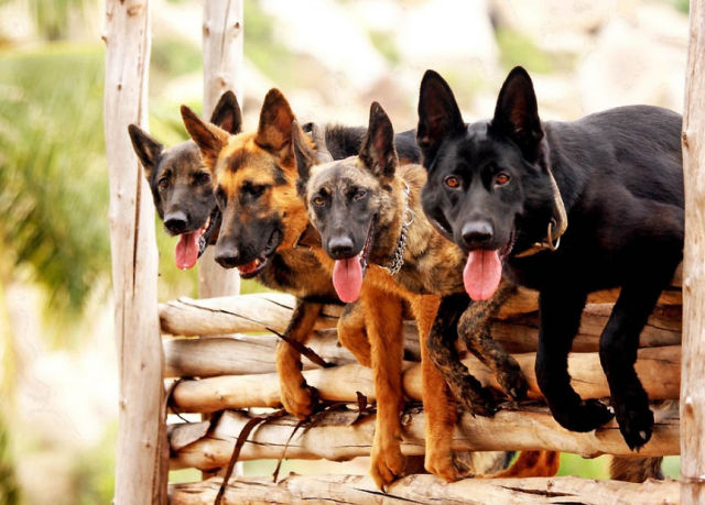 Canine Commandos in Training
