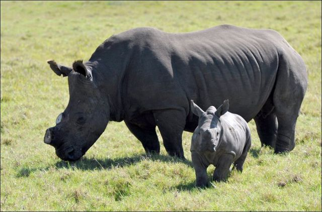 Can Horn Cutting Save the Rhinos?