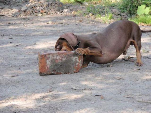 A Disciplined Dachshund
