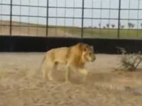 Man Rides Lion like He Would Ride a Horse!