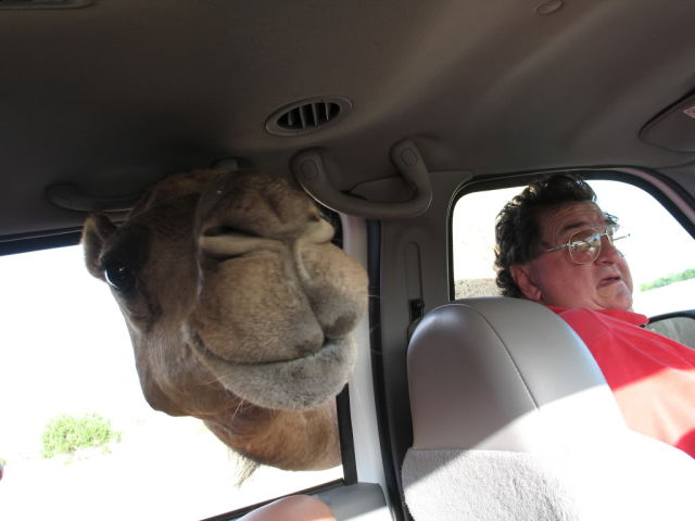 The Real Face of a Camel