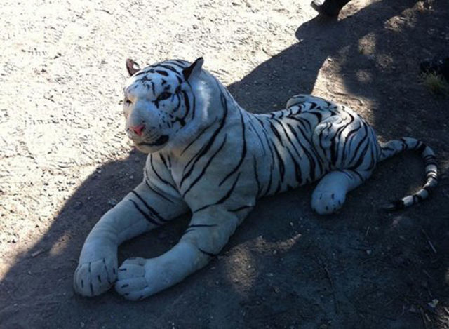 Huge Tiger Spotted at Hampshire Cricket Ground