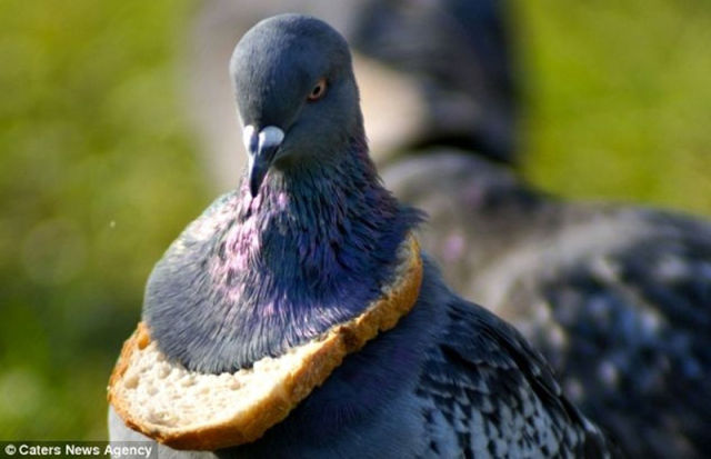 Pigeon Fashion