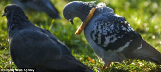 Pigeon Fashion