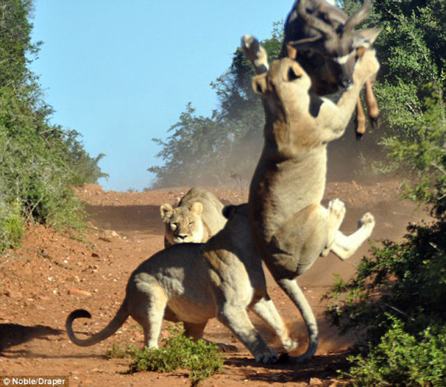 Antelope vs. Hungry Lions