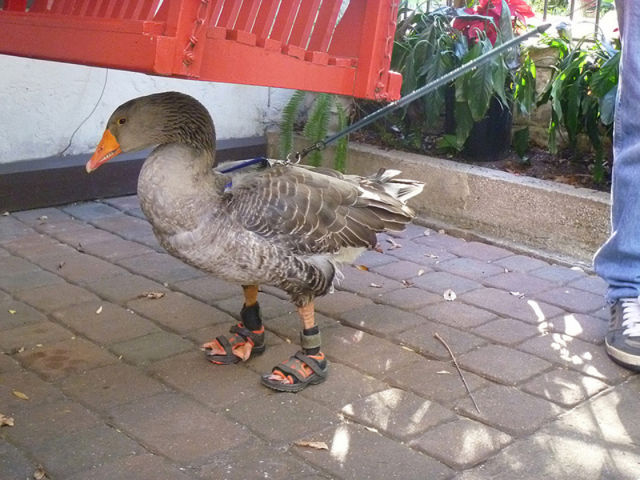 Fashion Goose