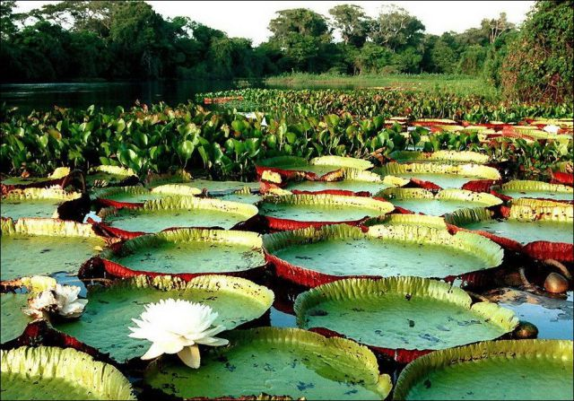The Largest Water Lily in the World