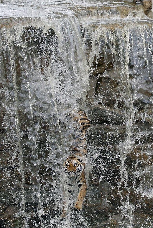 Siberian Tiger Escape the Heat