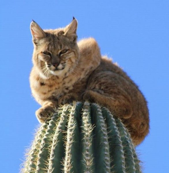 The Unusual Escape of the Bobcat