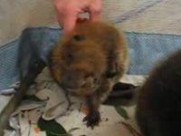Cute Baby Beavers