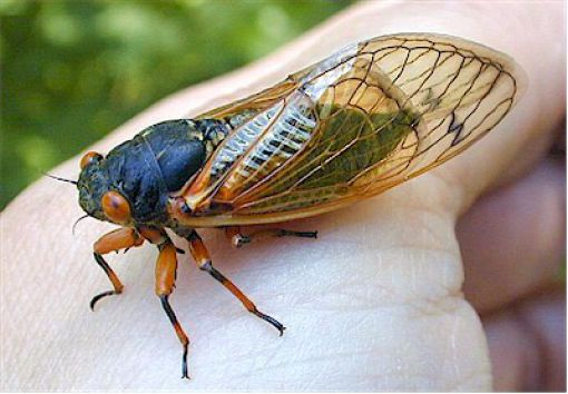 Uncanny Factoid: Cicada Treat