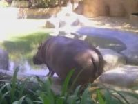 Hippo's Way of Welcoming People to the Zoo
