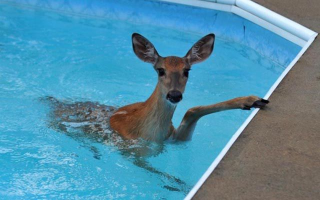 There Are Animals in the Swimming Pool