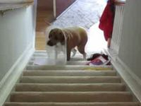 Clever Dog Found a Way to Climb the Stairs despite Its Space Collar