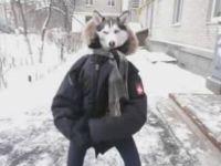 Funny Dancing Husky