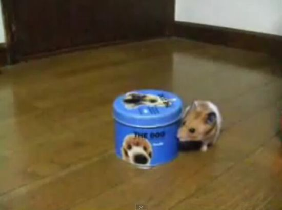 Cute Hamster Tries to Open a Tin [VIDEO]