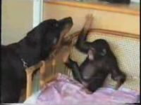 Rottweiler Plays with Baby Chimp