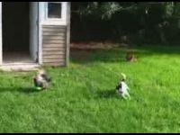 Fox Terrier is a Chicken Herder
