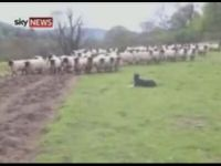 Sheep Dog Is Terrified of Sheep